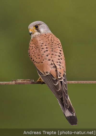 Picture of a kestrel